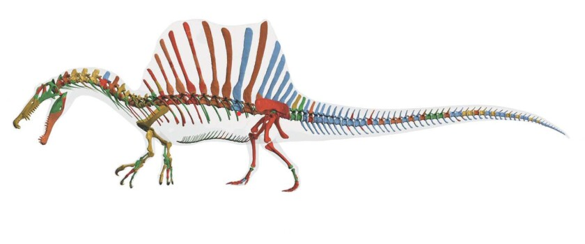 A digital skeletal reconstruction and transparent flesh outline of Spinosaurus aegyptiacus. The bones suggest this dinosaur was built to swim. Color codes show the origin of different parts of the digital skeletal model.