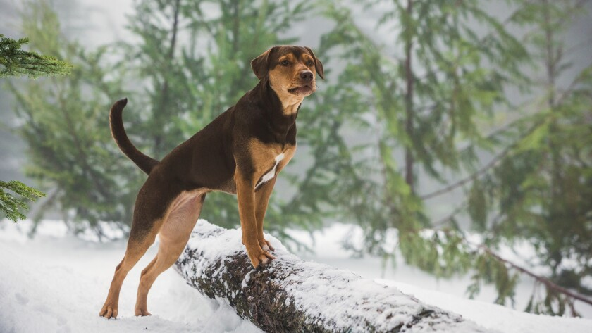 "Bella (Shelby) in Columbia Pictures' ""A DOG'S WAY HOME."" Credit: James Dittiger/Columbia Pictures"