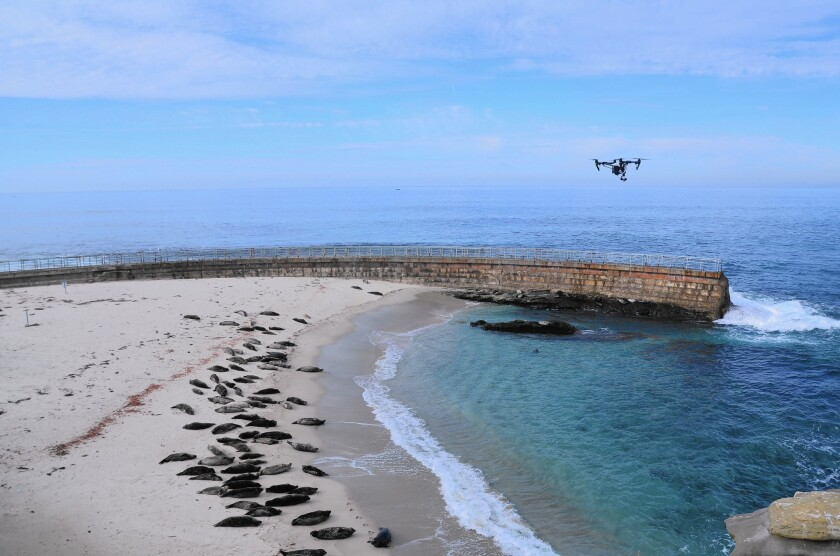 A drone hovers over seals and sea lions at Children's Pool Beach in La Jolla earlier this month.