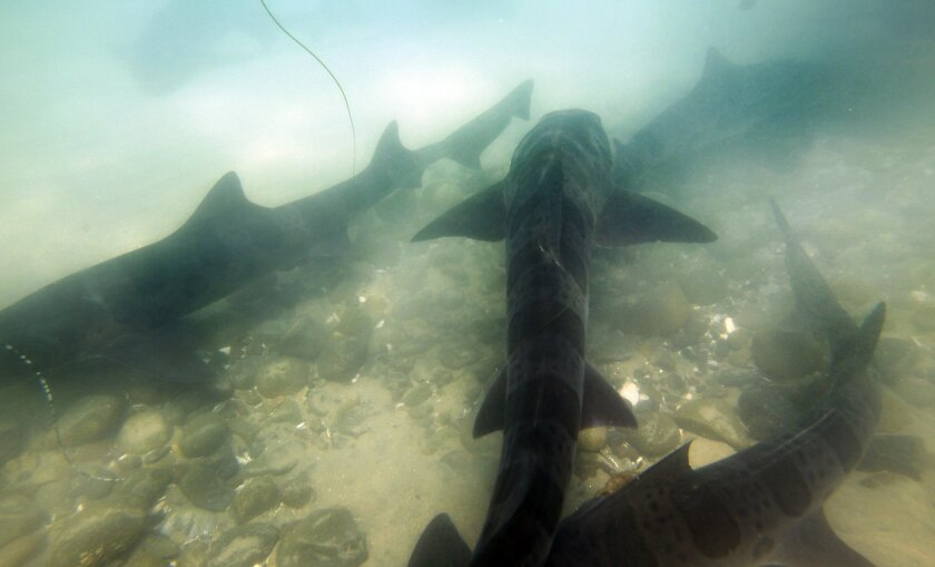 Harmless sharks make splash at beach - The San Diego Union