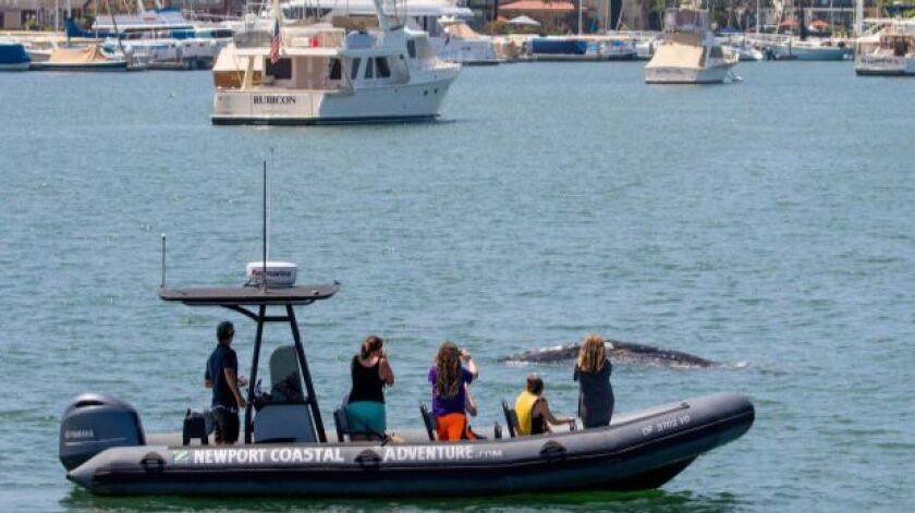 A boatful of spectators checks out a 20-foot juvenile gray whale swimming around Newport Harbor on Thursday.