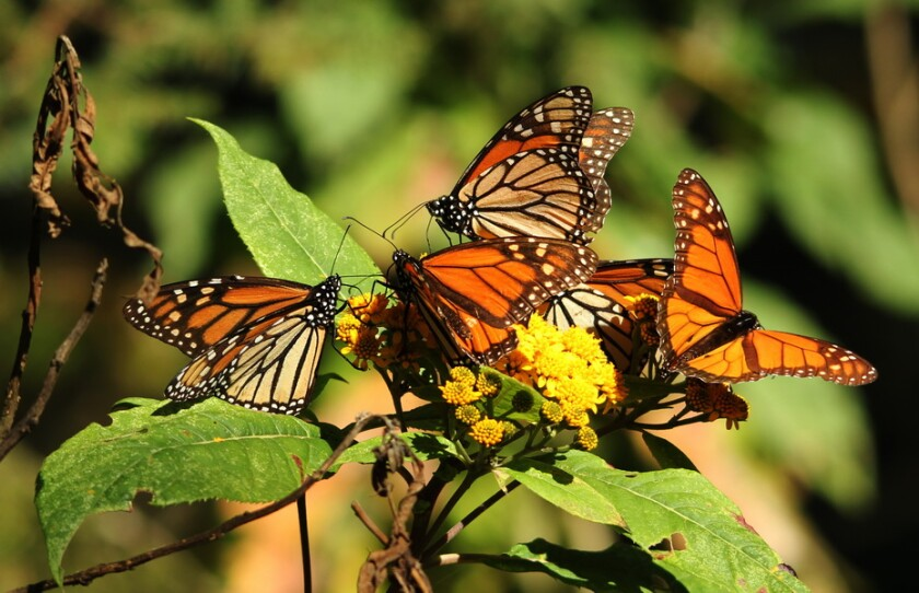 Monarch butterflies make an annual 3,000-mile winter migration to the forests of Mexico's Central Highlands.