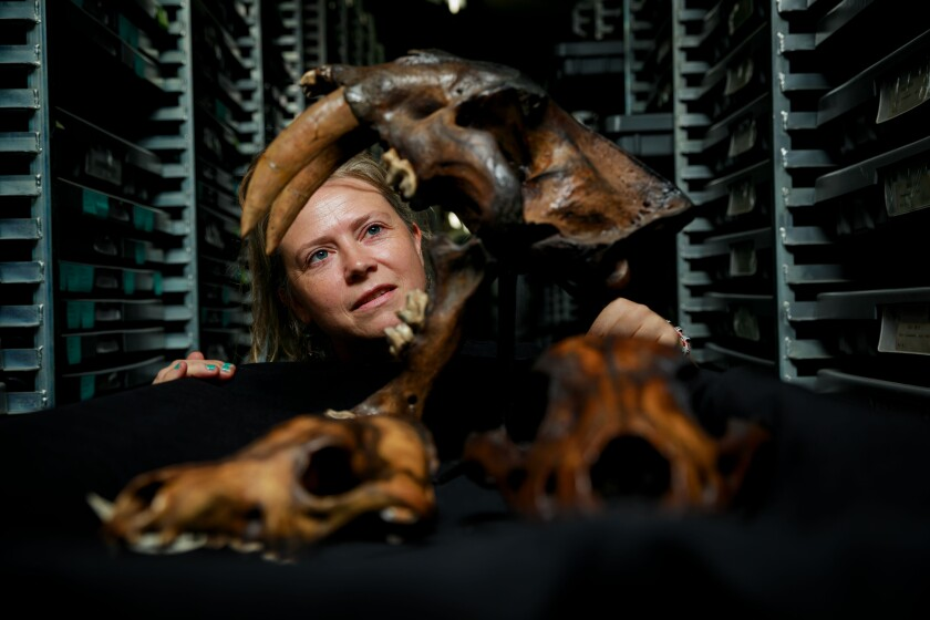 Aisling Farrell examines fossils recovered from the La Brea Tar Pits.
