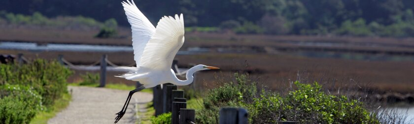 An egret takes flight at San Elijo Lagoon, the site of an unusual project on Coastal Cleanup Day.