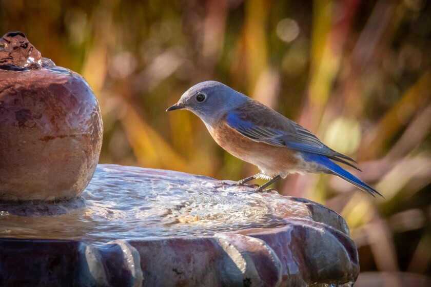 Bluebird on the fountain.jpg