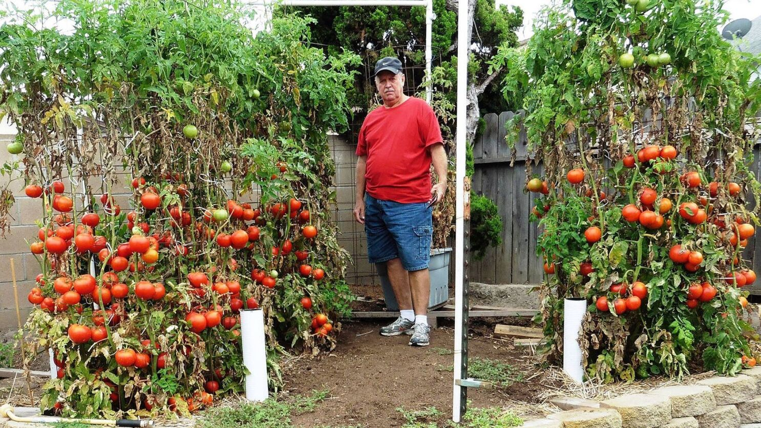 Want a bumper crop of tomatoes? Listen to this guy - Los Angeles Times