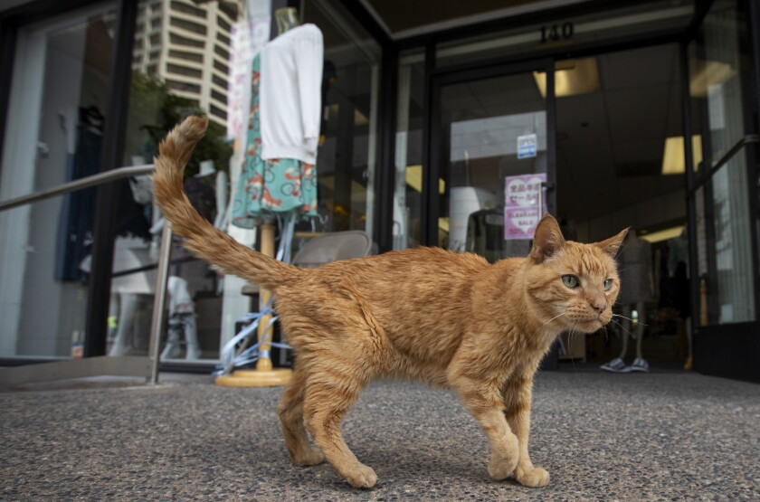 "Mr. Sherman, an American tabby often called the feline ""mayor"" of Little Tokyo"