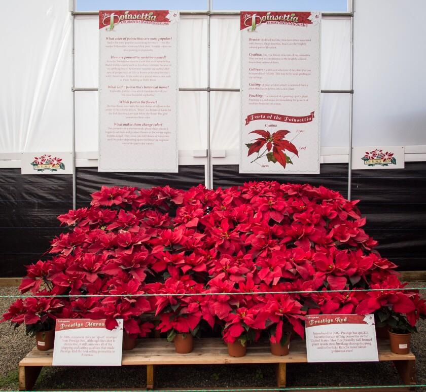 Historic Poinsettia Display.