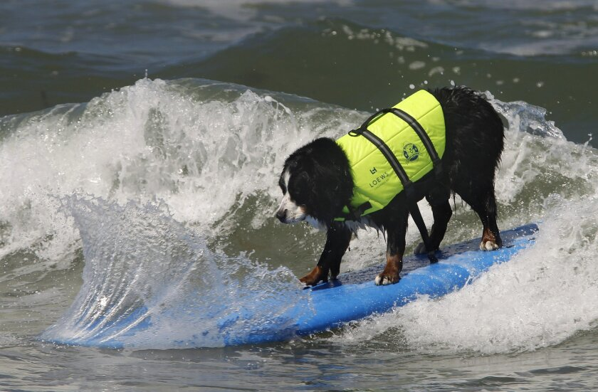 Peter Noll's dog, Nani, works on her surfing skills off Del Mar's dog beach. Eduardo Contreras • U-T