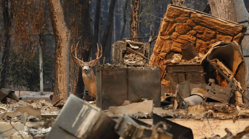 PULGA, CALIFORNIA--NOV.11, 2018--Unsure of where to run, a deer stands in the rubble of a home in Pa