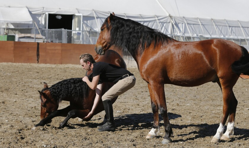 Trainer and artist Steven Paulson specializes in a segment of the show that involves letting the horses run loose while at the same time encouraging them to move in tandem.