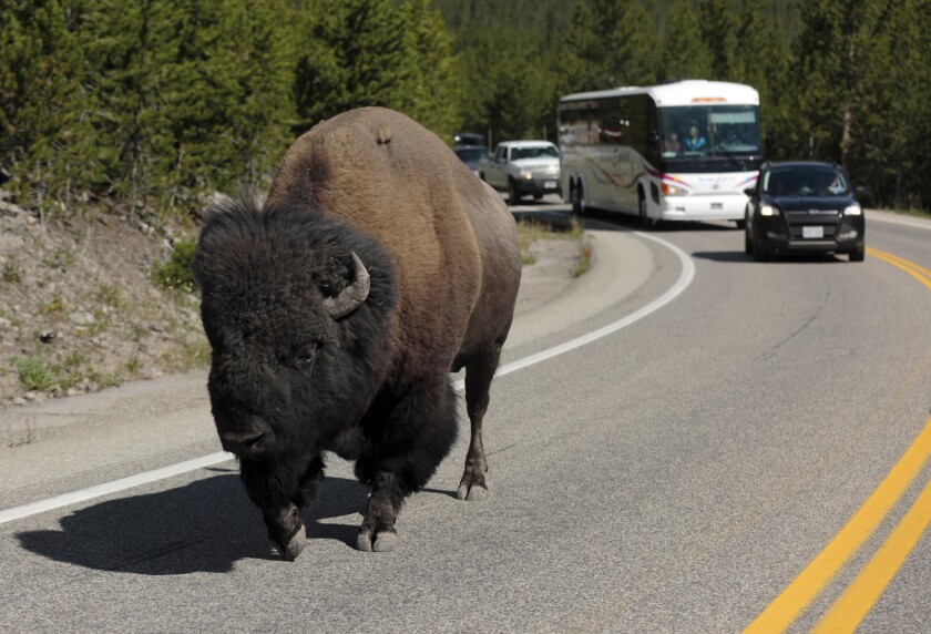 A bison lumbering down the highway near Madison Junction stalls traffic in Yellowstone National Park, where the giant animals have the right-of-way.