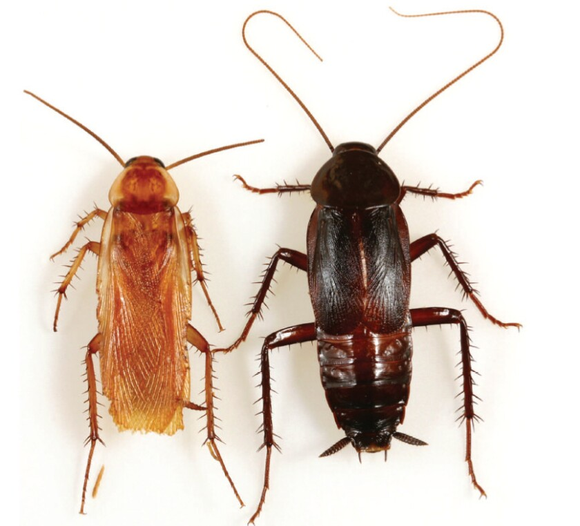 The male Turkestan cockroach, left, is lighter and has much longer wings than its counterpart, the Oriental cockroach. The new invasive species, first found in California in 1978, is native to the Middle East and Central Asia.