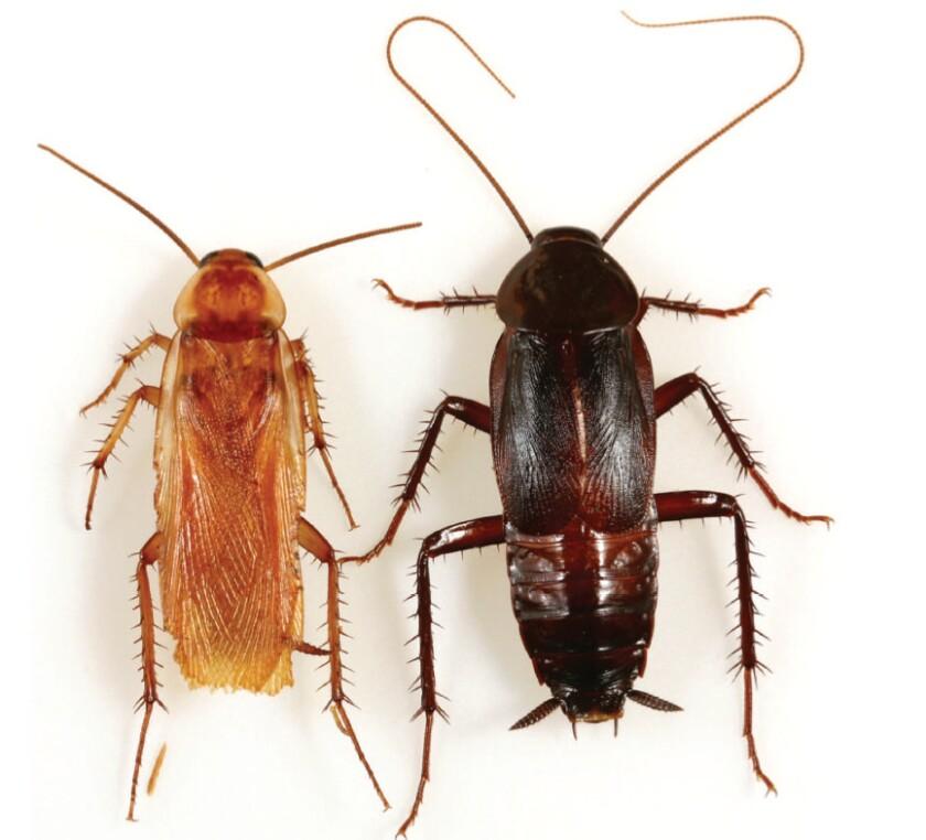 The Turkestan cockroach has spread through the U.S. Southwest