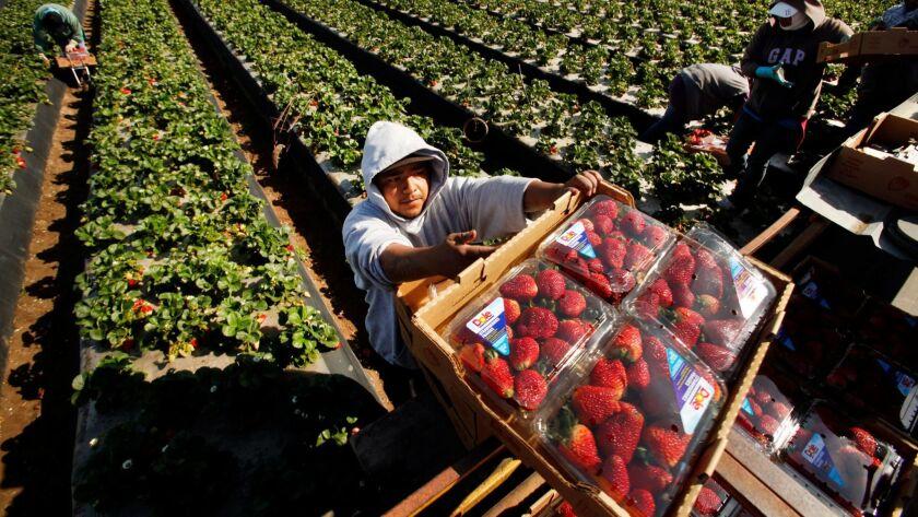 Domingo Suarez carries a box of Dole strawberries in Santa Maria.