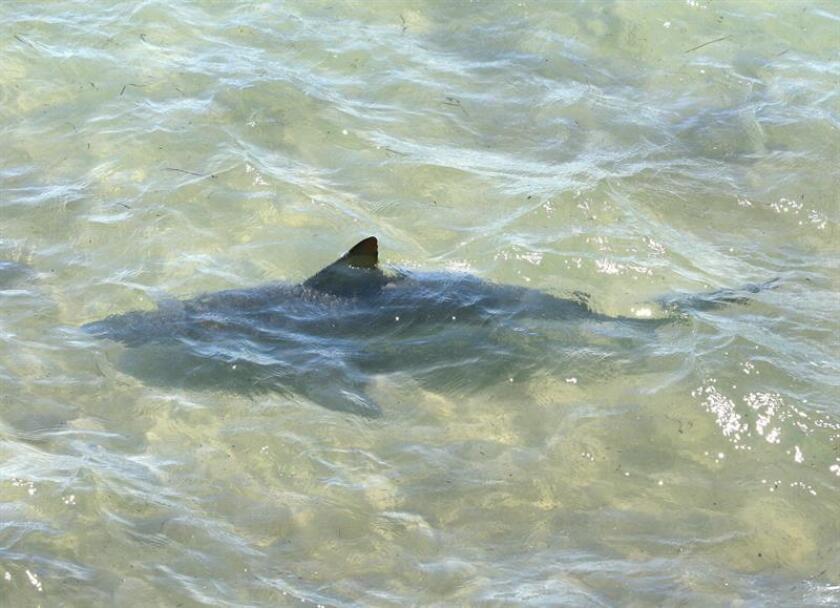 Un surfista resultó hoy seriamente herido en una pierna tras ser atacado por un tiburón en Fort Pierce, informó el Departamento de Bomberos de esa ciudad de la costa oeste de Florida. EFE/ARCHIVO