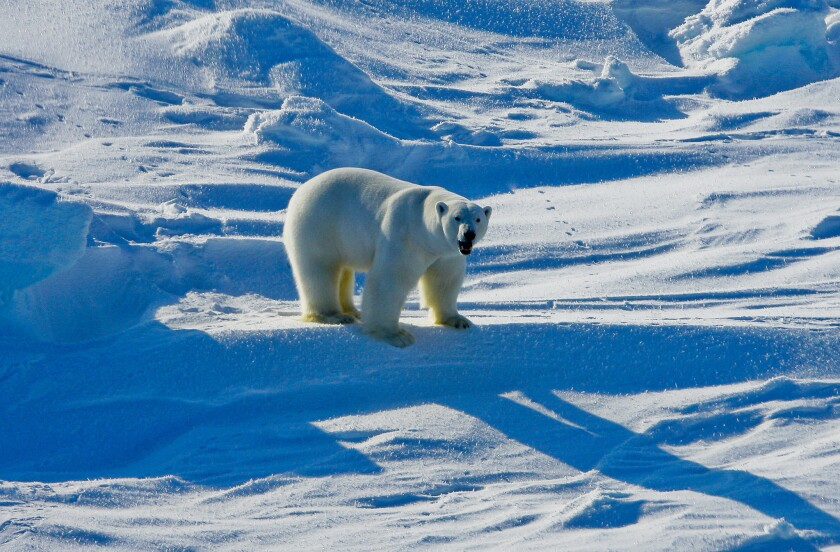 Recently published reports show that Exxon oil company's staff scientists have been aware of climate change and its human causes for decades. Above, a polar bear in the Beaufort Sea region of Alaska in 2009.