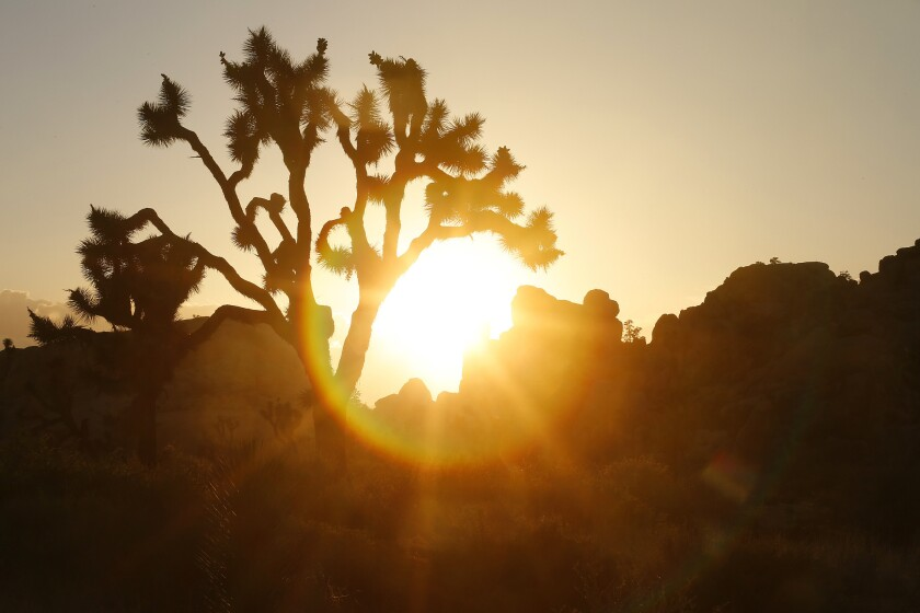 A Joshua tree, from which Joshua Tree National Park takes its name. A woman died this weekend while hiking in the park.