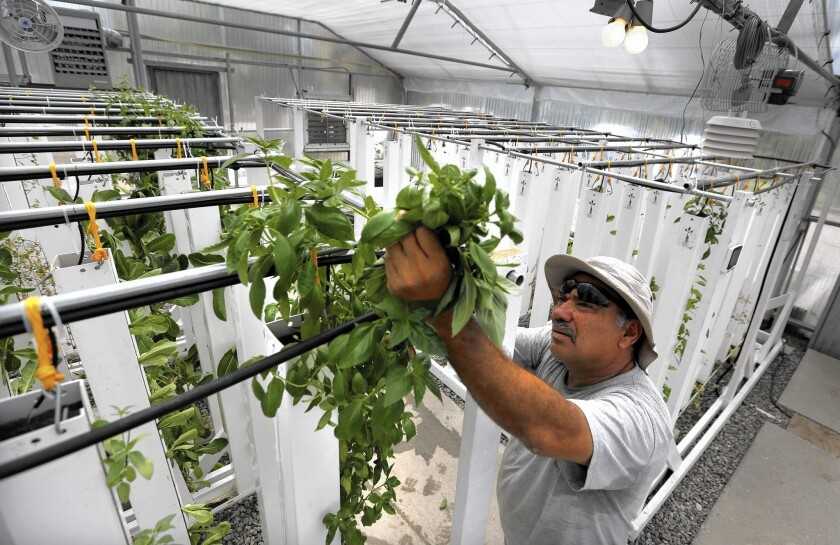 Manuel Cisneros, agricultural project coordinator at the Growing Experience in Long Beach, harvests a handful of sweet basil.