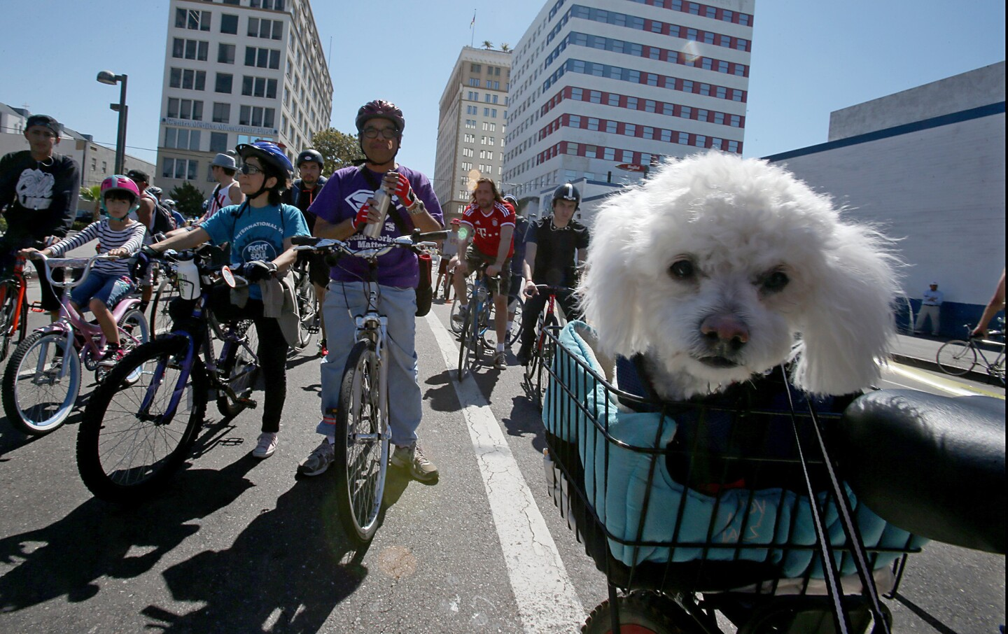 A pooch named Henry hitches a ride for the annual CicLAvia bike festival.