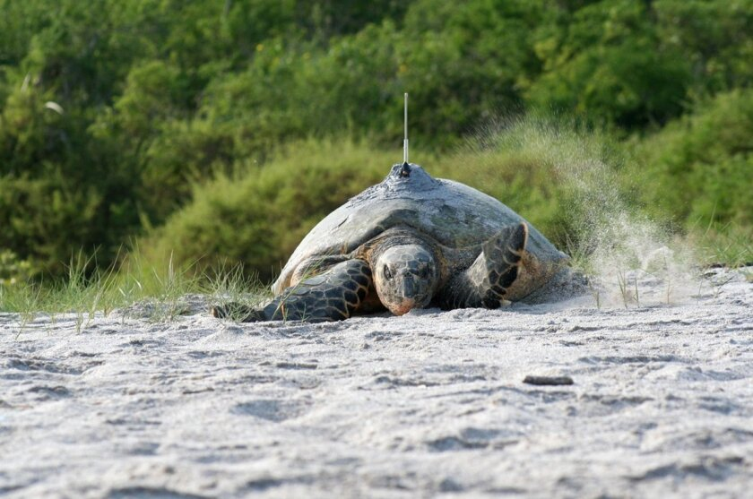Hawksbill turtles were thought to be wiped out in the eastern Pacific Ocean until a recent series of discoveries. Here, a tagged hawksbill makes it way to the water in Machalilla National Park, Ecuador.