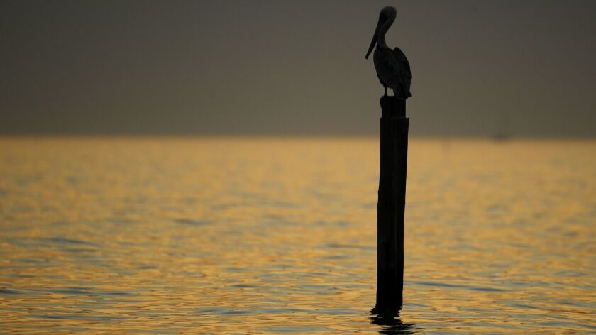 A brown pelican perches on the remnants of a pier in the Gulf of Mexico at sunset Sunday, Dec. 2, 20