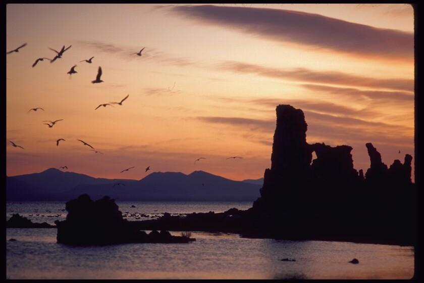 Gulls at twilight on Mono Lake