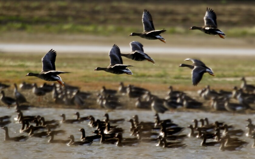 The marshlands, canals and culverts in Williams, Calif., north of Sacramento, are temporary homes to geese and other migratory birds that use the area as a stop on the Pacific Flyway.