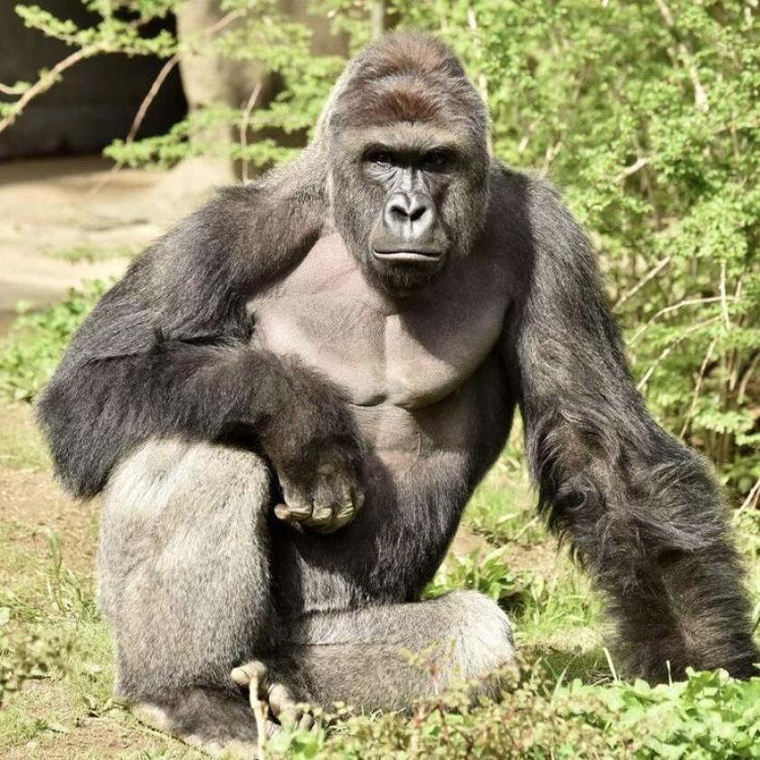 El pasado 28 de mayo, los responsables del Zoológico de Cincinnati tuvieron que sacrificar al gorila Harambe para evitar que un niño fuera atacado por el simio.