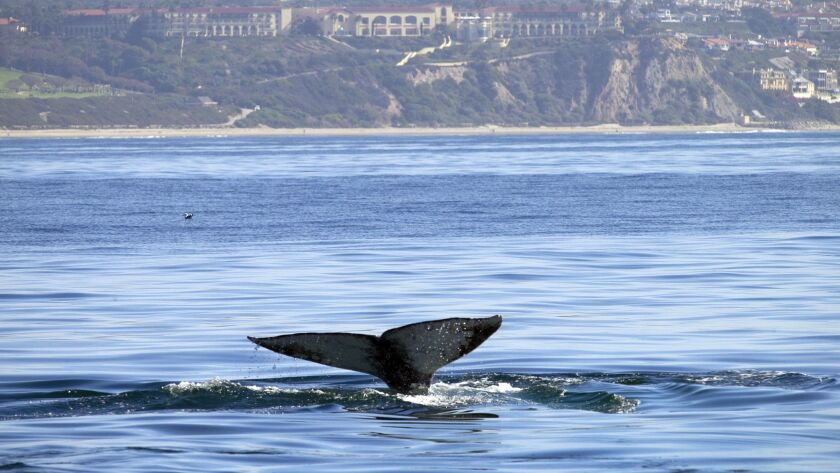 A gray whale reveals its flukes off the California coast. Near Channel Islands Harbor in Oxnard, rescuers worked March 25 to untangle a gray whale.