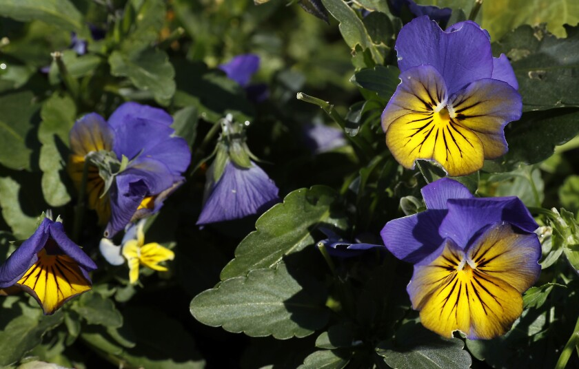 Violas grow in an urban garden located in the front yard of a home near Kali restaurant in Los Angeles.