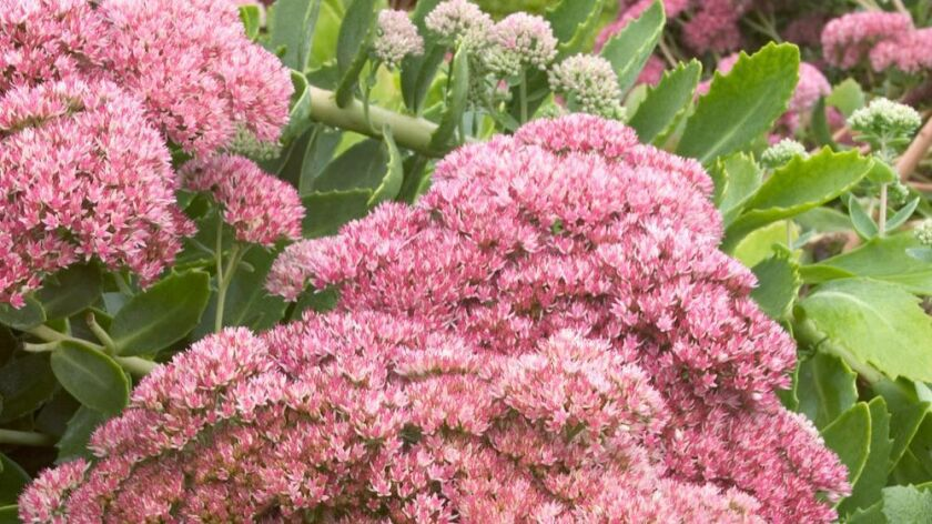 'Autumn Joy' flowers start out pink and age to a russet-red in the fall.