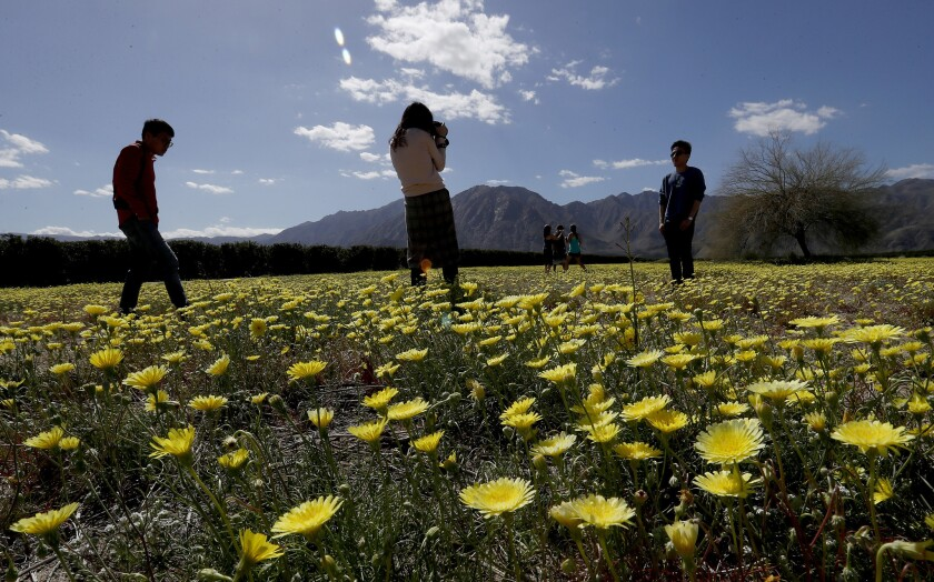 BORREGO SPRINGS, CALIF. - MAR. 13, 2019. Visitors take pictures in a field of tidy tips near Coyote