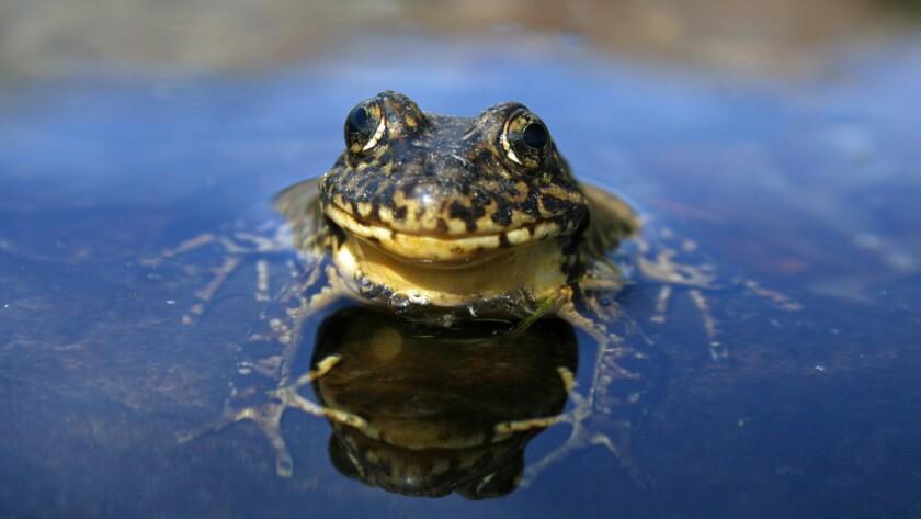 Nevada yellow-legged frog