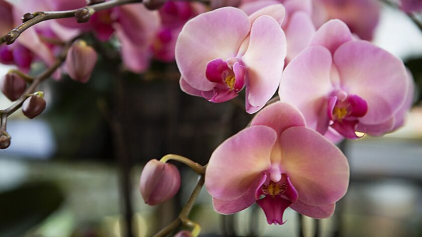 The Fascination of Orchids Show at the South Coast Plaza Village will include orchid displays, seminars and sales.
