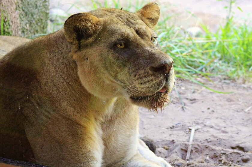 Bakari, a lioness born at the San Diego Zoo Safari Park, died of lymphoma at the John Ball Zoo in Grand Rapids. She was 12.