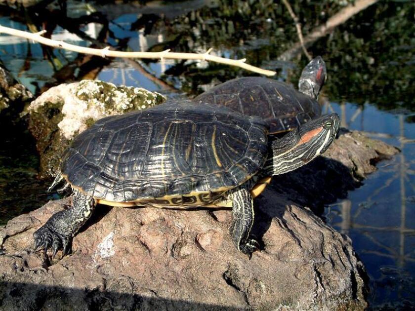 Las autoridades de salud de EE.UU. alertaron hoy sobre un brote de salmonella que desde el año pasado ha afectado a al menos 76 personas, un tercio de ellas niños menores de 5 años, debido al contacto con pequeñas tortugas marinas que tienen como mascotas. EFE/Archivo