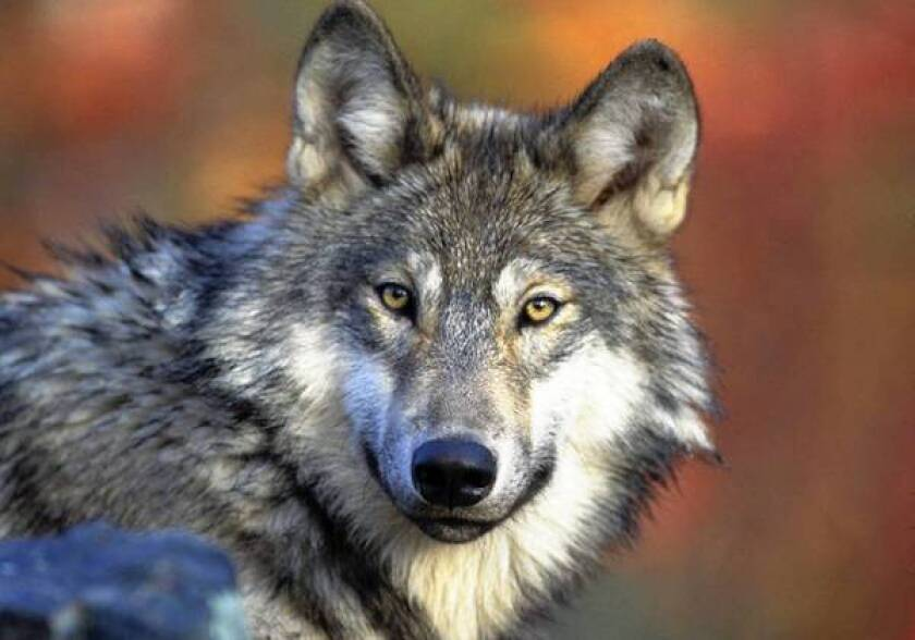 Researchers find gray wolf-grizzly bear link in Yellowstone