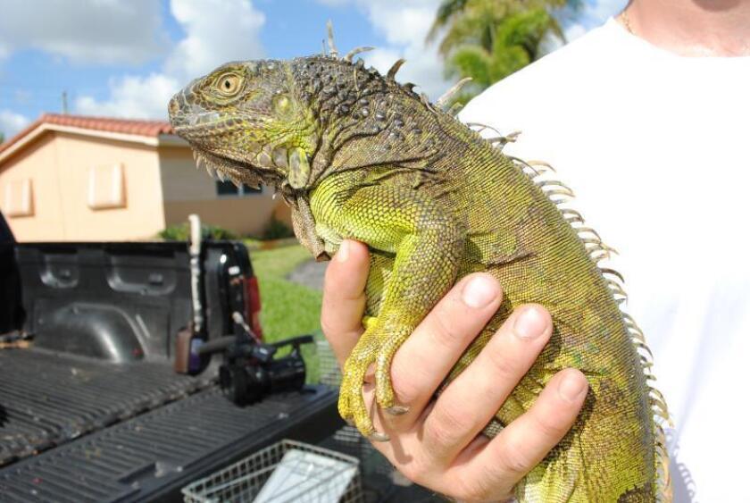 Un cazador de iguanas de la compañía especializada Redline muestra un ejemplar de iguana verde capturada en el jardín de una vivienda el pasado 11 de agosto, en Hollywood, Florida (EE.UU.). EFE/ Antoni Belchi
