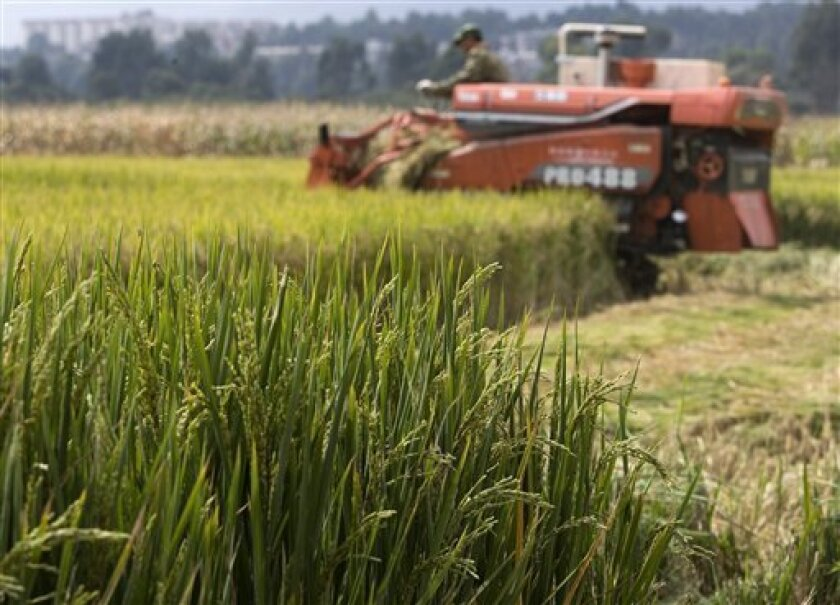 A worker uses a machine to cut rice on a test field sewn with different rice varieties in the outskirts of Kunming, capital of southwestern China's Yunnan province, Tuesday, Oct. 14, 2008. In a mountainous place like Yunnan, and in many other parts of the developing world, such advantages can tip t