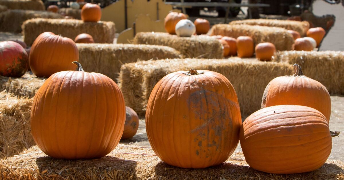 Your 2020 Guide To Pumpkin Patches Around San Diego County Pacific San Diego