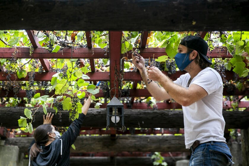 Jasper Dickson of Angeleno Wine Co. harvests grapes during a grape harvest at San Gabriel Mission
