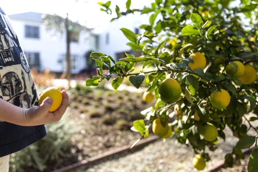 A dwarf Meyer lemon tree can be grown indoors in full sun.