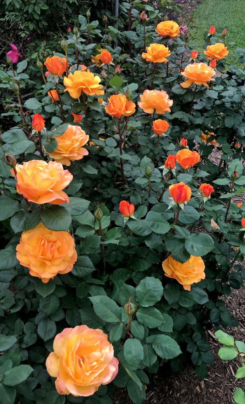 Good as Gold roses, bred by Tom Carruth