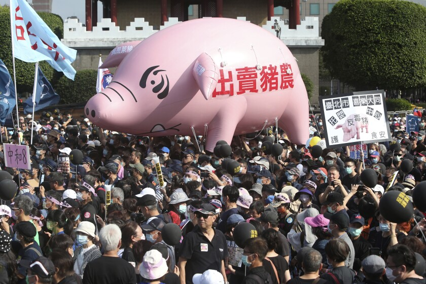 "Above a crowd of sign-waving protesters, a pig balloon has a slogan that reads ""Betraying pig farmers."""