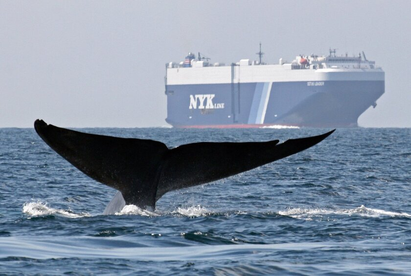 FILE - In this Aug. 14, 2008 file photo provided by Cascadia Research, a blue whale is shown near a cargo ship in the Santa Barbara Channel off the California coast. Cargo ships will be paid to slow down to avoid hitting whales and cut air pollution, under a new voluntary program being launched off California. (AP Photo/Cascadia Research, John Calambokidis, File)