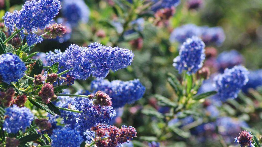 Ceanothus, also called California wild lilac.