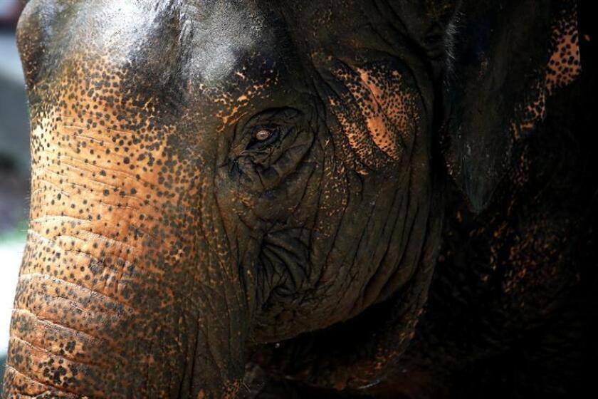 El Gobierno del presidente Donald Trump anunció hoy que levantará la prohibición de importar trofeos de elefantes cazados en Zimbabue y Zambia, impuesta en 2014 bajo el mandato del expresidente Barack Obama. EFE/ARCHIVO