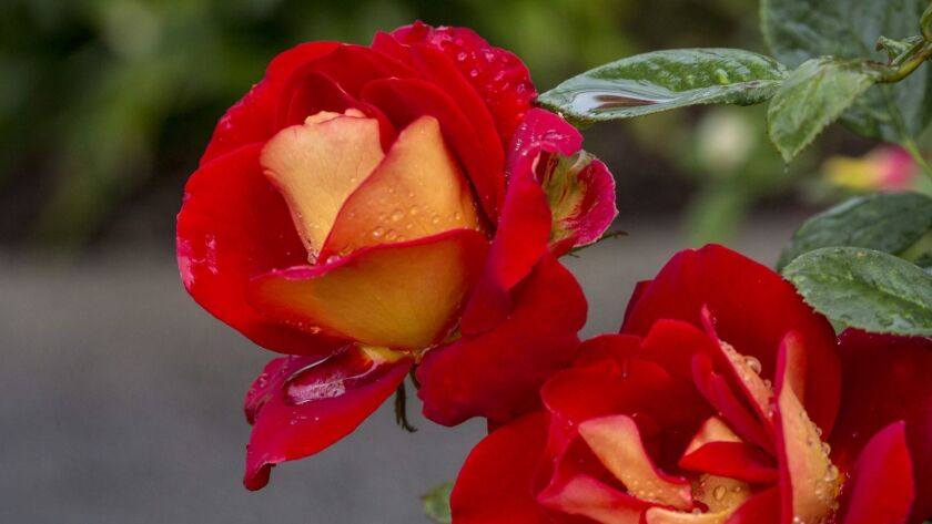 If you want roses as lovely as these Ketchup and Mustard roses at the Huntington Library Rose Gardens, you need to start preparing now with pruning and maintenance.