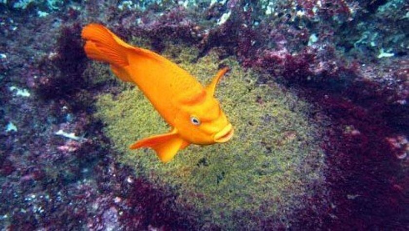 A male garibaldi fiercely protects the bright yellow eggs in his nest, which is constructed of trimmed red algae and cleared of debris. Photos: Jeremy W Smith